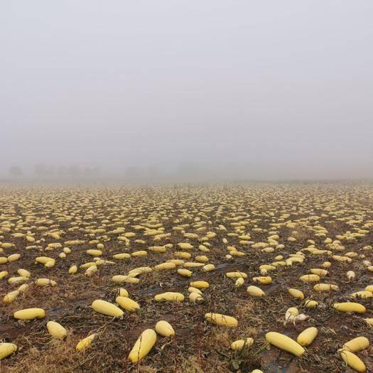内蒙古自治区乌兰察布市察哈尔右翼中旗南瓜子 新鲜饱满的南瓜籽