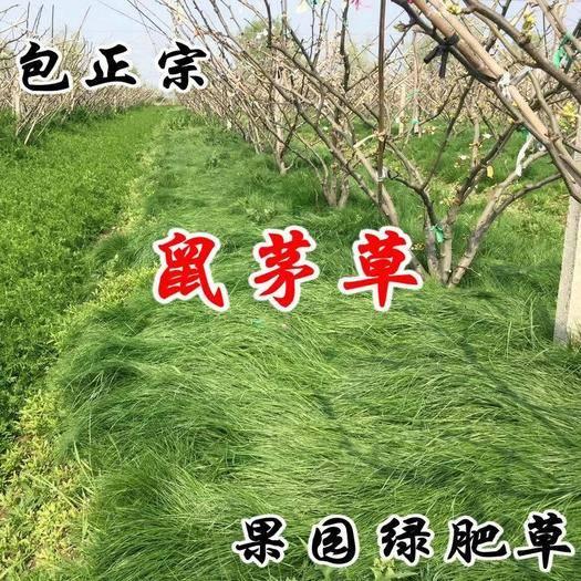 宿迁沭阳县 鼠茅草种子 果园树林绿肥 鼠矛毛草籽 正品包邮