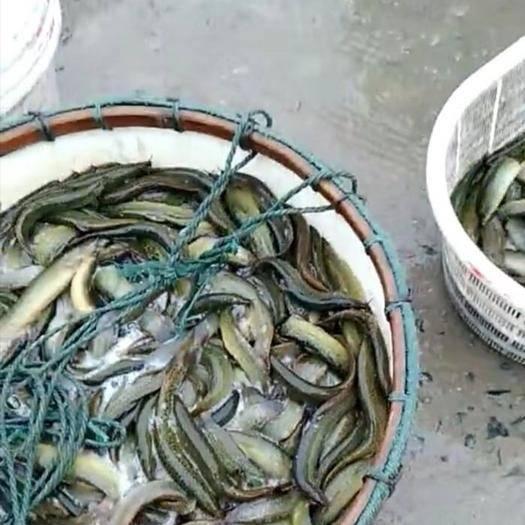 江苏省扬州市高邮市 台湾泥鳅