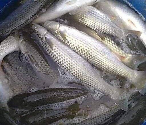 四川省自贡市富顺县淡水银鳕鱼 银鳕鱼,质量保证,诚信经营