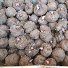 魔芋种 大量有货批发,免费提供种植技术,全国包邮,周边送货