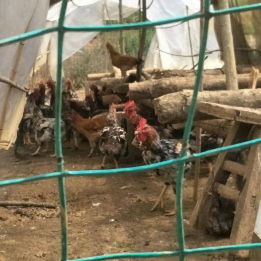 贵州省黔西南布依族苗族自治州兴义市 便宜买杂毛鸡