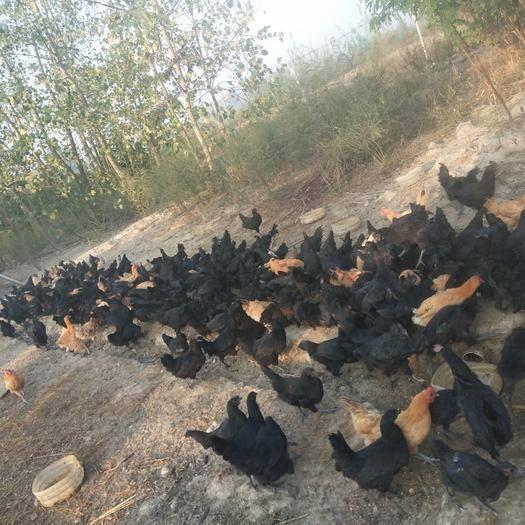 河南省信阳市固始县五黑鸡 2-3斤 统货