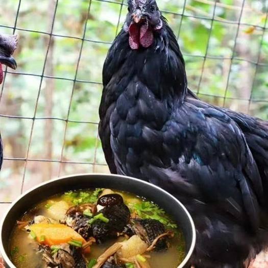福建省龙岩市武平县 放养乌鸡$营养王老乌鸡