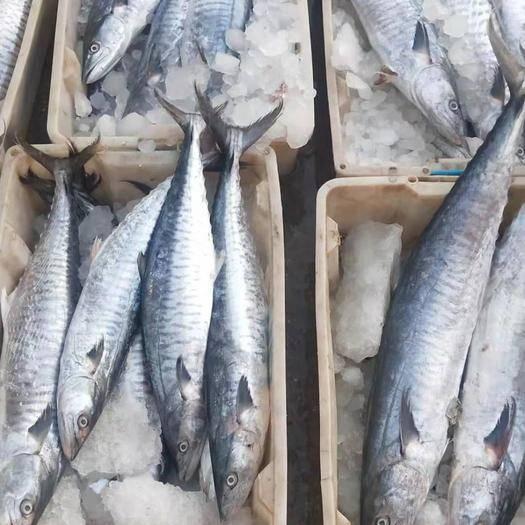 广东省茂名市电白区冷冻马胶鱼 生鲜靓马胶鱼