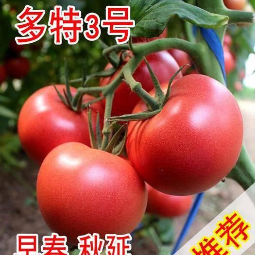 山东省潍坊市寿光市多特三号 番茄种子,大果精品抗死棵