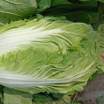 山东聊城东昌府区沙镇大白菜大量上市,质量很好,价格美丽