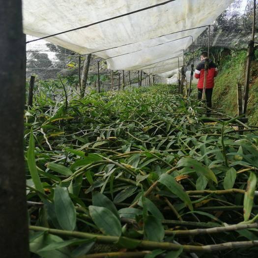 云南省保山市龙陵县 大量出售紫皮石斛