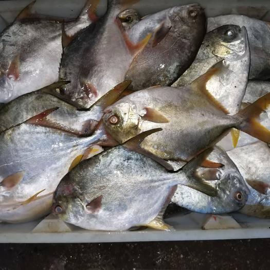 广西壮族自治区北海市海城区深海海鲜 金昌鱼大眼鱼红腊鱼马鲛鱼油甘鱼