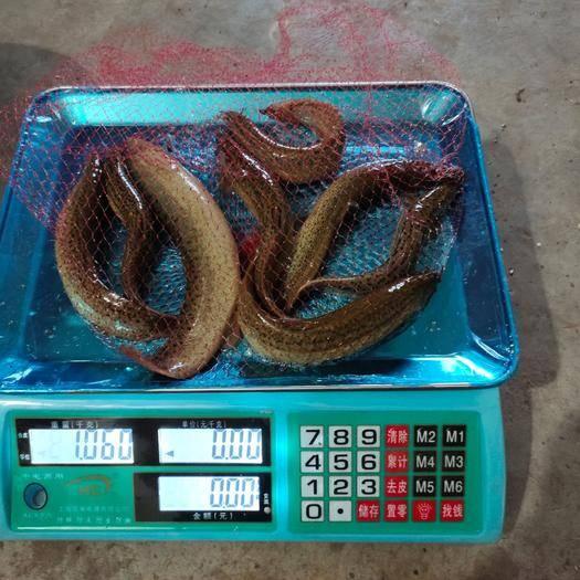 四川省泸州市叙永县 泥鳅泛滥,急需出售