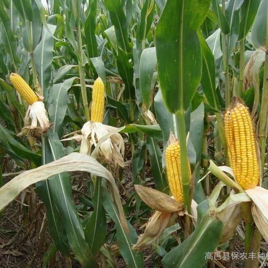 陕西省榆林市定边县玉米干粮 净货 水份17%-20%