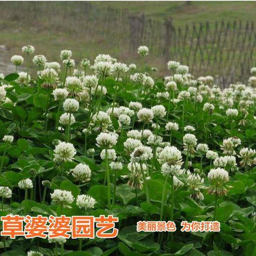 宿迁沭阳县 三叶草种子红三叶种子白三叶种子包邮
