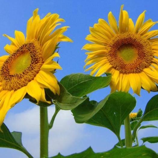 江苏省宿迁市沭阳县 向日葵种子  可食用观赏室内外种植庭院花海 四季开花