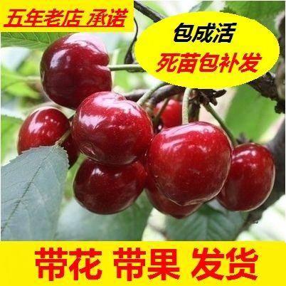 贵州省毕节市大方县 车厘子苗 樱桃苗种植果树苗樱桃树苗8号苗
