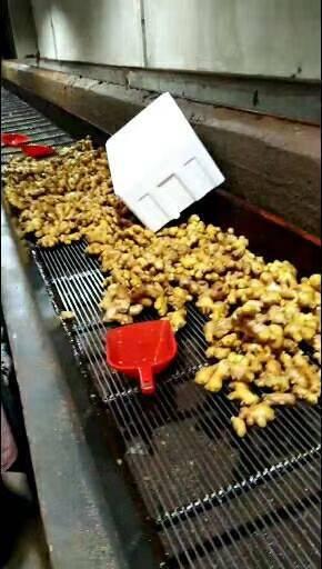 竹姜山东竹姜大量供应可提供人工水洗包装等