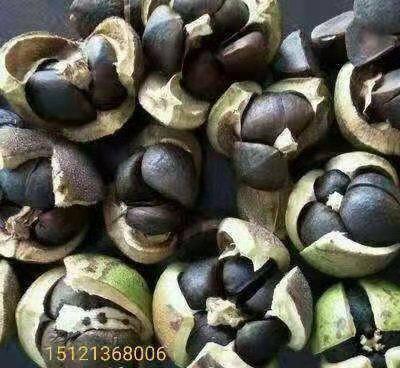 黔南惠水县油茶种子 油茶好品种,产量高,见效快,稳产,决定种植户的未来!