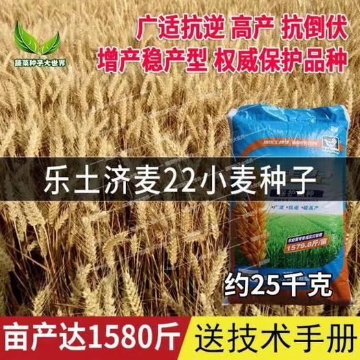 沧州新华区 优质强筋冬小麦种子高产乐士济麦22小麦种子婑杆抗倒抗病大穗