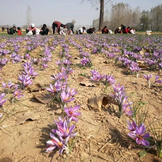 安徽省亳州市谯城区 藏红花种球花丝