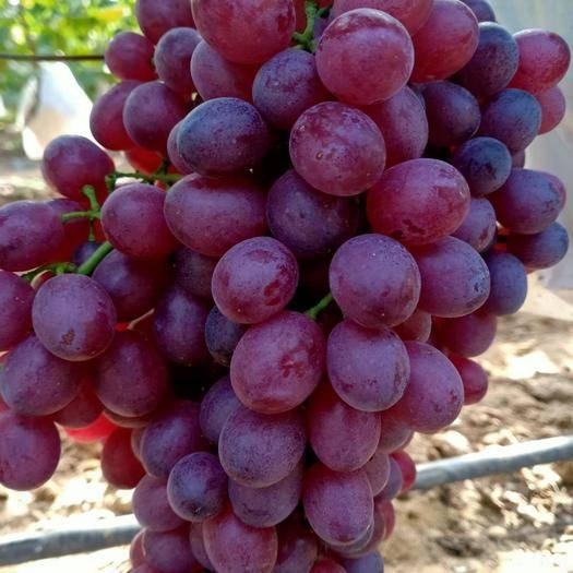 莱州市 无核红宝石葡萄