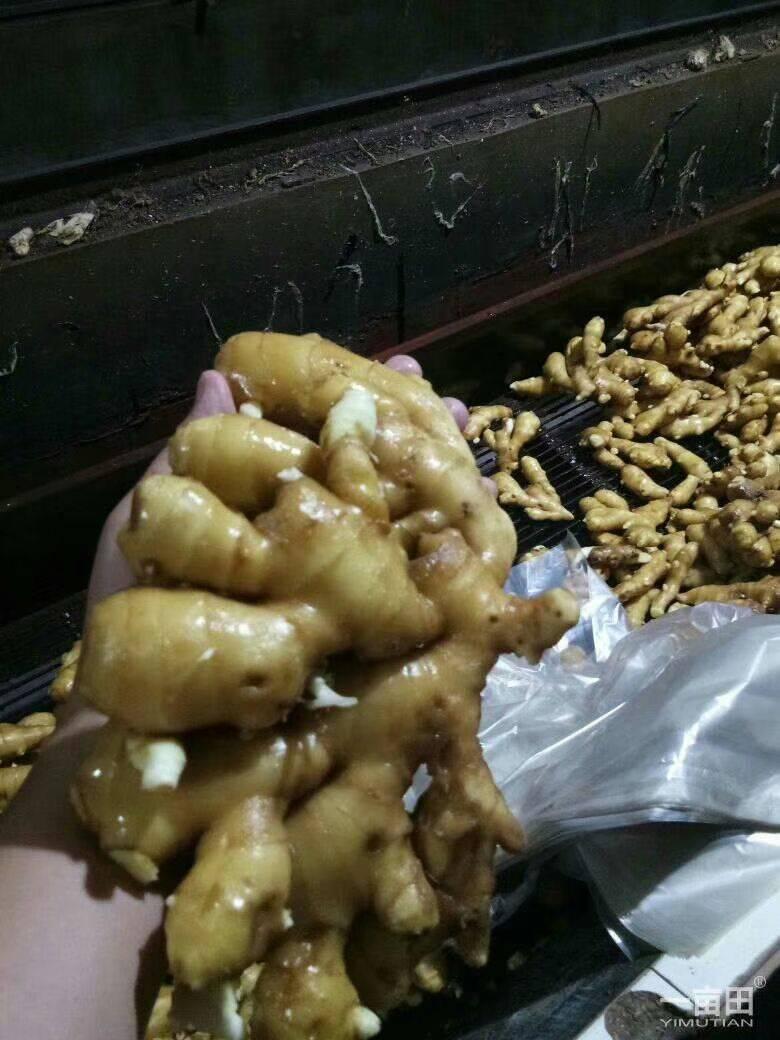 生姜小黄姜 大黄姜 大量供应优质生姜可提供水洗