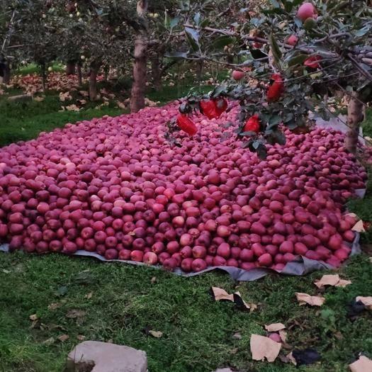 甘肃省兰州市七里河区 兰州本地出售苹果(新红心、红富士)