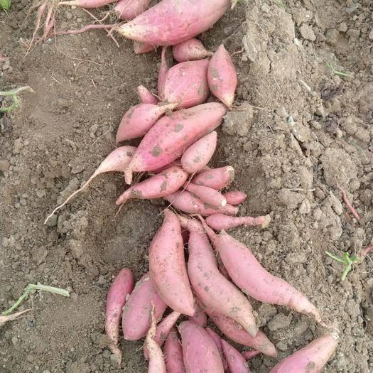 山东省青岛市莱西市 山东烟薯25 蜜薯