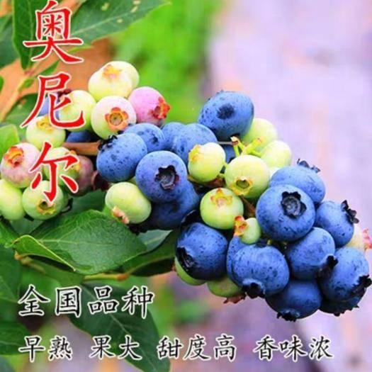 山东省临沂市平邑县奥尼尔蓝莓苗 基地直销,保证对版