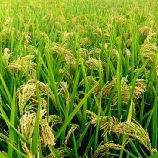 安徽省淮南市凤台县 无农药无污染原生态绿色食品稻谷3000斤