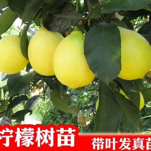 平邑县香水柠檬苗 基地直销,保证成*率