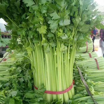 精品芹菜大量上市