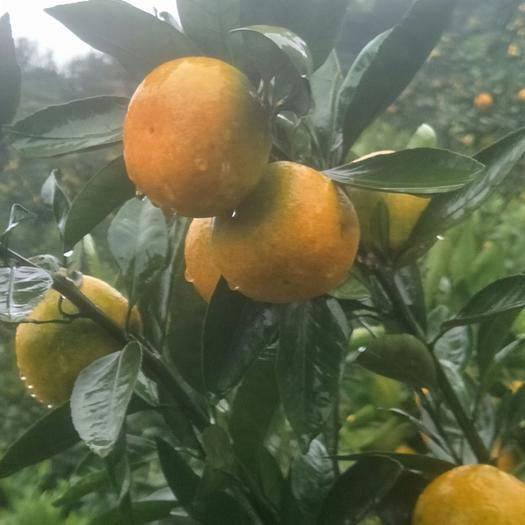 陕西省汉中市城固县富硒柑橘 汉中市城固县有优质柑橘10万亩,需各位客商前来采购,量大从优