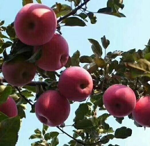 甘肃省天水市麦积区红富士苹果 冰糖心红富士