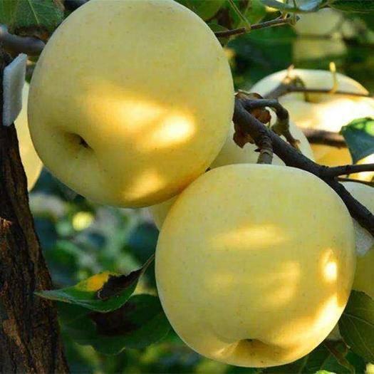 山东省临沂市平邑县 维纳斯黄金苹果苗矮化维纳斯黄金苹果树苗嫁接苹果苗新品种苹果苗