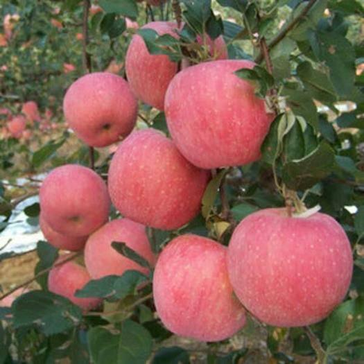 山东省临沂市费县红富士苹果苗 红富士苹果嫁接苗
