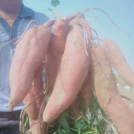 山东省德州市夏津县济薯26号红薯 济薯26