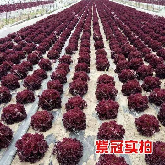 東營 紫葉生菜種子