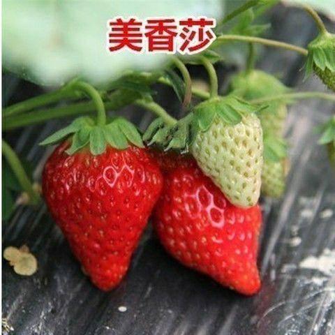 山东省临沂市平邑县 草莓苗基地直供100棵起批可实地看货品种齐全量大可以签合同