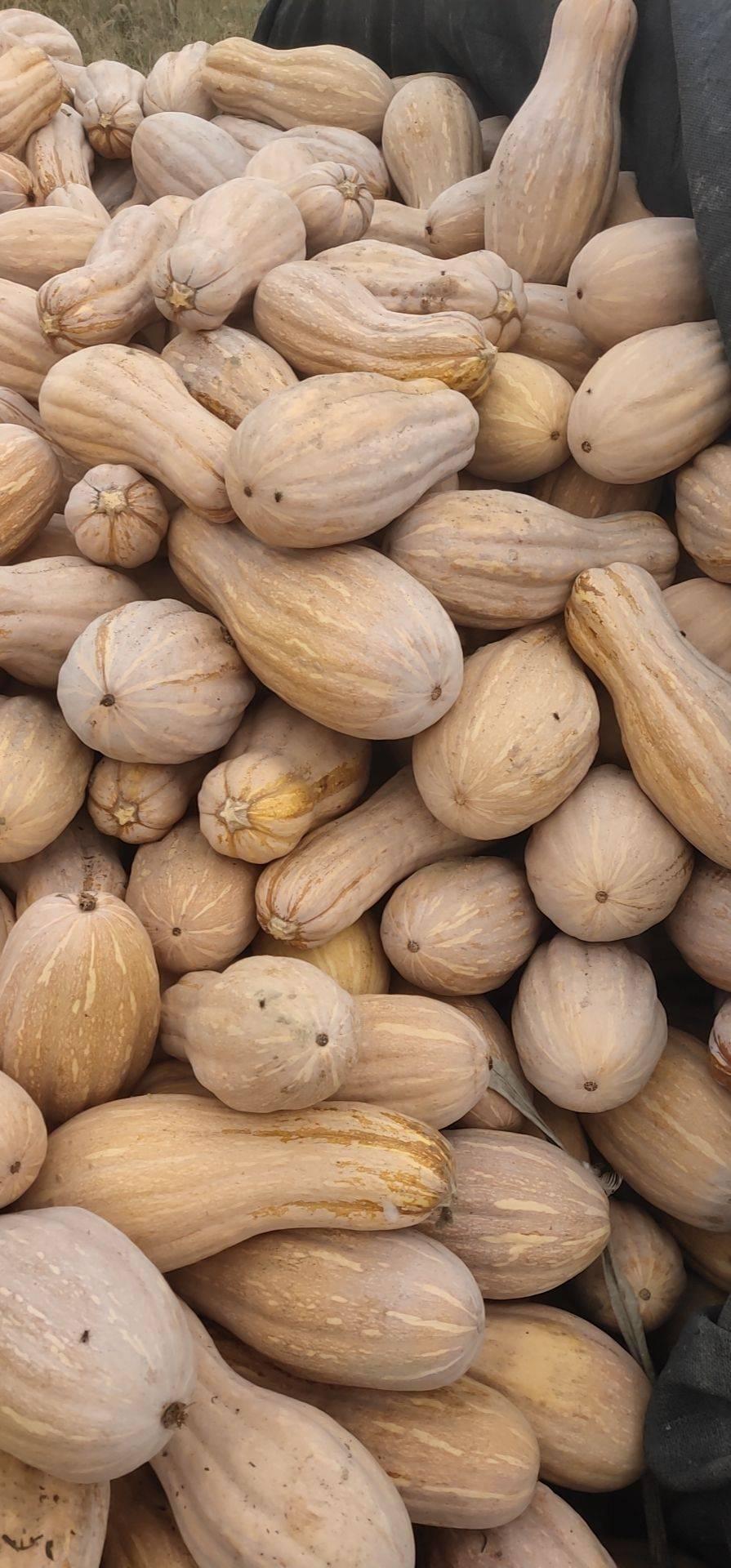 蜜本南瓜 6~10斤