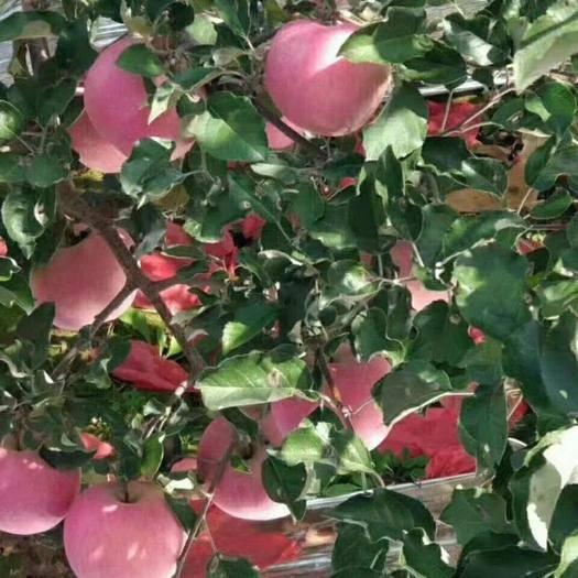 甘肃省天水市秦州区红富士苹果 75mm以上 条红 纸袋