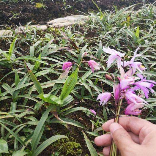云南省昆明市呈贡区 白及驯化苗走一波