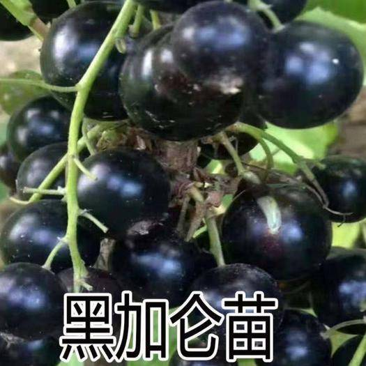 山东省临沂市平邑县黑加仑苗 黑加仑葡萄苗  黑色小浆果  俗称小蓝莓  营养极高