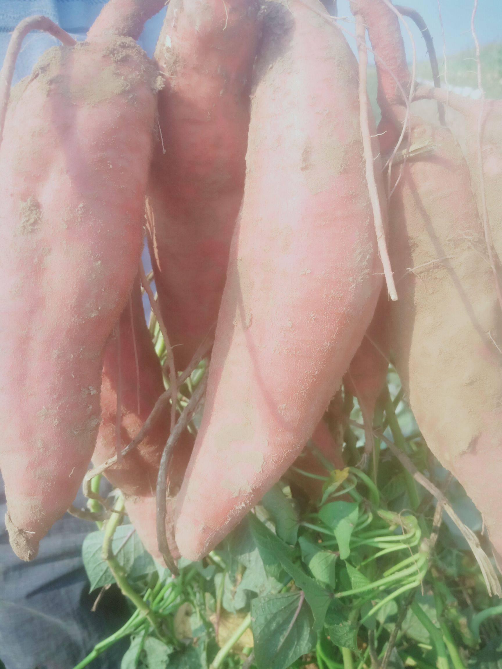济薯26号红薯 济薯26