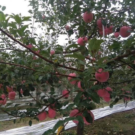甘肃省平凉市泾川县 甘肃泾川县自家种植苹果