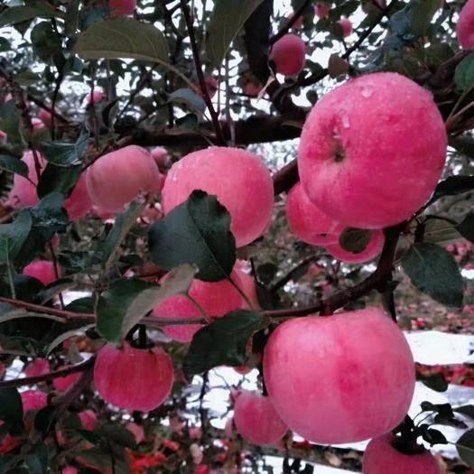 陕西省延安市宜川县 欢迎各路客商前来采购苹果,宜川苹果色香味俱全,口感好含量高