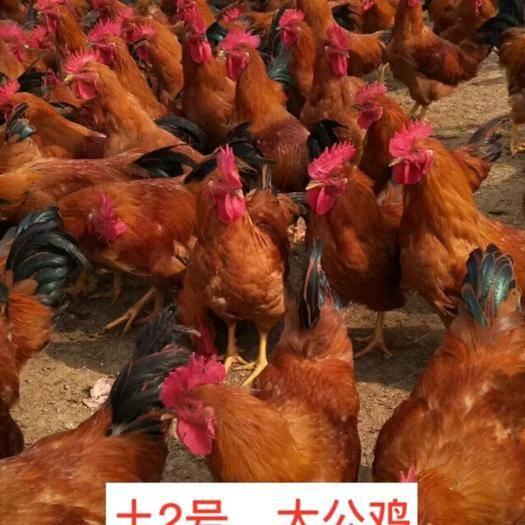 广西壮族自治区南宁市西乡塘区 长期批发鸡苗,各种鸡苗,专注禽苗批发10多年