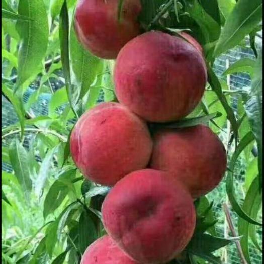 山东省临沂市平邑县 大红桃苗,包品种,包成活,死苗补发。