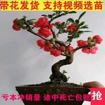 四季红海棠花苗盆栽地栽南北适种