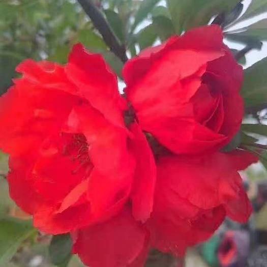 臨沂平邑縣鉆石海棠 ,花色艷麗,美觀德體,是綠化工程轉型產品。