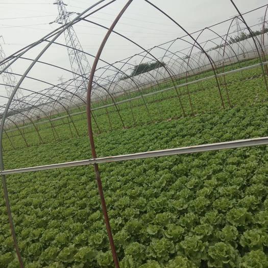湖北省武汉市黄陂区 生菜,个体户,要多有多,要少有少 。