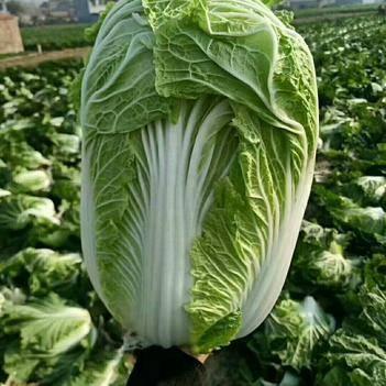 青杂三号白菜 质量很好